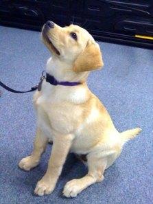Susquehanna Service Dog Grace